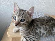 Reinrassige Bengal Kitten ab dem