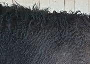 Curly Deckhengst sucht liebe Curly
