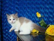 weibliches Ragdoll-Kätzchen