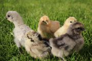 Reinrassige Zwergseidenhühner Küken und Bruteier