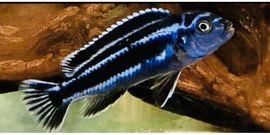 Fische, Aquaristik - Malawibarsche