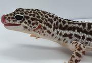 Leopardgecko Mack Super Snow Männchen