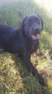 Wunderschöne Labrador Junghündin 5 Monate