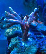 Montipora Bubblegum Meerwasser Koralle
