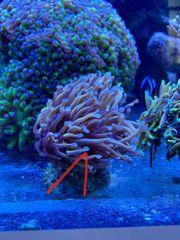 Meerwasser Korallen golden torch euphyllia