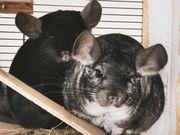2 Chinchilla Weibchen