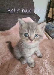 Zauberhafte Perser-Main Coon-Kitten ab 24