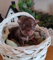 Chihuahua Zwergpinscher Prager Rattler WELPE