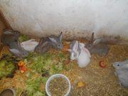 Junge echte Deutsche Riesen Kaninchen