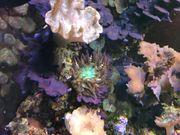 Sandanemonen Meerwasser