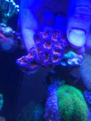 Schöne Acanthastrea Korallen Meerwasser Korallenableger