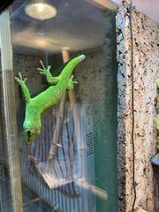 2 Madagaskar Taggecko