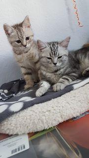 2 süße BKH Kitten 2