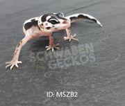 Leopardgeckos MS Zorro Bandit Zorro