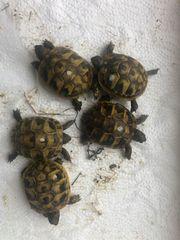 Landschildkröten Nachzuchten 2018 und 2020