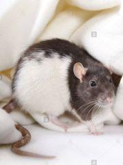 Ratten Böckchen