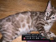 Bengal Zuchtkatze 5 Monate TICA