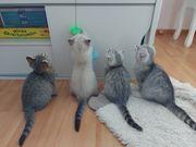 Kuschelbärchen-BKH Die Kitten sind beriet