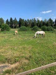Suche Pony oder Kleinpferd