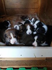 Großer Schweizer Sennenhund Mix Welpen