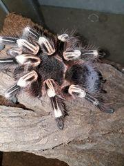 Verschiedene Vogelspinnen Grammostola Caribena