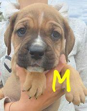 Molosser - Bulldog x Mastiff