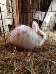 8 Wochen alte Kaninchenbabys abzugeben
