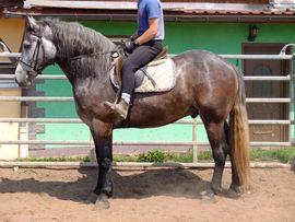 Bild 4 - Ständig schöne Fahr-u Freizeitpferde - Buttstädt