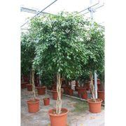 Ficus exotica - art37223