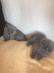 Reinrassigen BKH Kitten Bärchen Blue