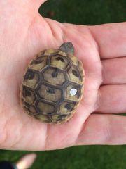 Griechische Landschildkröten Baby s aus