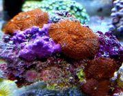 Meerwasser Rhodactis superman red pro