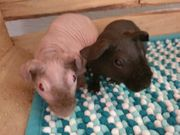 Skinny Pig Meerschweinchen 8 Wochen