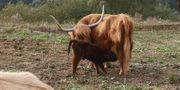 Hübscher Jungbulle Highland-Cattle Schottisches-Hochlandrind
