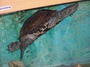 Wasserschildkröte chinesische Dreikielschildkröte Aquarium komplett