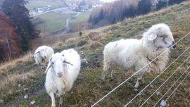 Montafoner Steinschafe: Kleinanzeigen aus Dornbirn - Rubrik Alles Mögliche