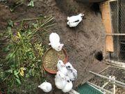 Kaninchen Jungtiere 12 Wochen Abzugeben