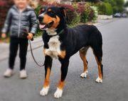 Deckrüde - Appenzeller Sennenhund
