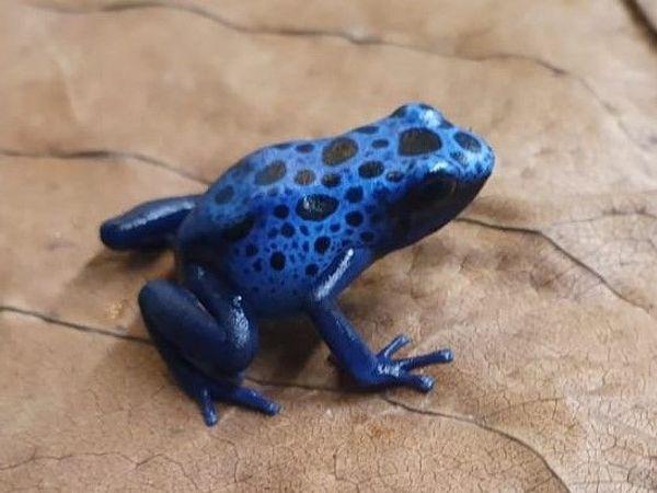 Dendrobates tinctorius Azureus Blauer Baumsteiger