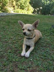 süsse Chihuahua Dame Farbe Creme-Beige