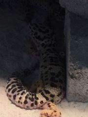 Terraium mit drei Leoparden Geckos