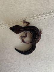 Black Night leopardgeckos