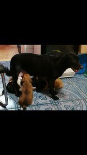 7 Labrador Mix Welpen
