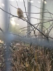Junge Kanarienvögel abzugeben