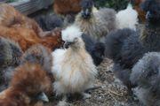 Zwergseidenhuhn Hennen