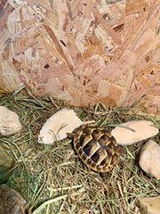 2 Junge Griechische Landschildkröten