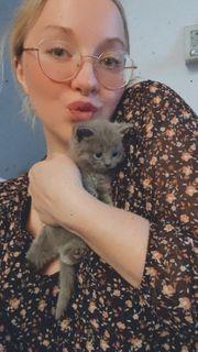 Ich biete 2 BKH Kätzchen