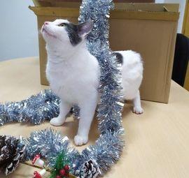 HAKU - Super freundlich und anhänglich: Kleinanzeigen aus Wrist - Rubrik Katzen