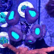 Caulastrea Bicolor WYSIWYG 6 7 Polypen