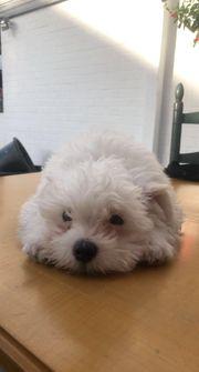 Maltipoo Hunde Kaufen Verkaufen Auf Quoka De